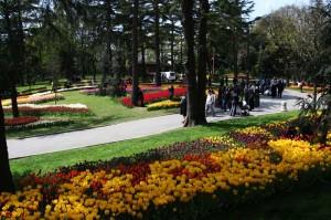 La tulipe1