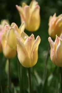 La tulipe2