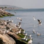 Goélands d'Istanbul