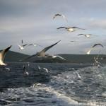 Vol de goélands derrière un bateau  reliant les îles des Princes au continent