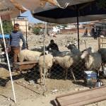 Marché aux bestiaux de Selçuk avant la fête du sacrifice