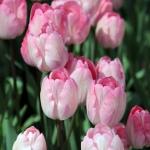 Tulipes d'Istanbul