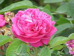 rose d'Isparta - source Wikipedia