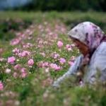 Cueillette de pétales de roses d'Isparta - source Habertürk