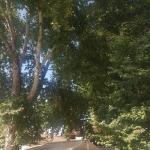Platane de 1200 ans à Yalvaç