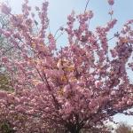 Arbre en fleurs, jardin japonais de Baltalimanı, Istanbul