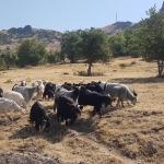 Chèvres de la vallée du Munzur