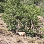 Chèvres sauvages dans les montagnes du Munzur