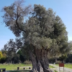 Des oliviers magnifiques sur le site de Teos